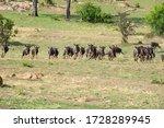 A herd of running gnus in a...