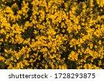 Gorse Flowering In The Pentland ...