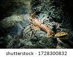 Wild Red Crayfish In An...
