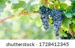 Closeup Of Blue Grape In...