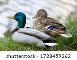 Male And Female Mallard Anas...