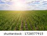 Field Of Young Green Wheat Ger...