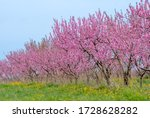 Peach Trees In A Field Of Pink