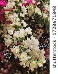 Bougainvillea Flowers In...