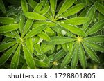 Wet Lupine Leaves  Lupinus...