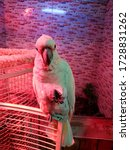 Cockatoo Parrot On Pink Purple...