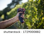 Hand Squeezing Grapes Of...