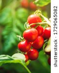 Ripe Tomato Plant Growing In...