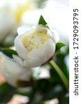 macro white peony flowers... | Shutterstock . vector #1729093795