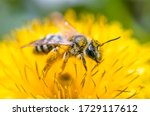 Beautiful Bee On A Flower In...