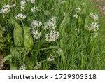 Spring Flowering Ramsons Or...
