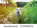 Stock photo dog in tall grass with dandelions 172940522