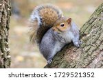 Gray Squirrel In The Park