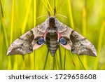Eyed Hawk Moth  Smerinthus...