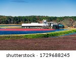 Cranberries Being Harvested In...