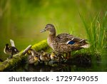 Mallard female with little...