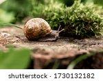 Snail Closeup. Burgundy Snail...