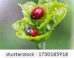 Macro Of Two Ladybugs On The...