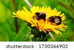 Bumblebee In The Spring Closeup