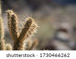 Close Up Of Cholla Teddy Bear...
