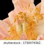 Pastel Orange Pink Peony...