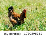 A Motley Adult Chicken With...