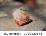 Small photo of Depraved strawberry with disgusting white mildew all over it