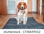 Cute Welsh Springer Spaniel Dog ...