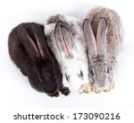 domestic rabbit it is isolated... | Shutterstock . vector #173090216