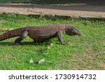 The Komodo Dragon With Its...