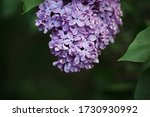 Spring Lilac Purple Flower...