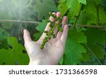 A Farmer Inspects A Young Grape ...