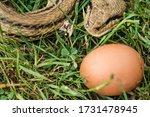 Snake Egg Eater Species...