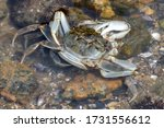 Crabs Mating On A Bed Of...