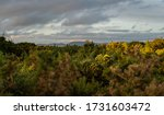 View Over Green Gorse Bushes...
