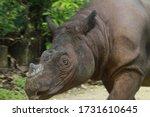 Sumatran Rhino    Sumatran...