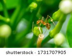 A Pharaoh Ant On Top Of A...