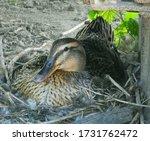 Wild Duck Sitting On Eggs In...