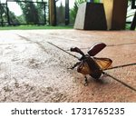The Brown Beetle On The Cement...