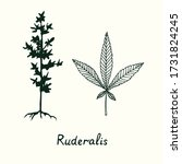 ruderalis cannabis plant and...   Shutterstock .eps vector #1731824245
