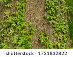 The Ivy Is A Climbing Plant An...