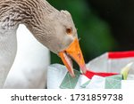 Greylag Goose Eating In A Fiel...