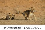 Young Lion Cubs Arguing Over...