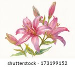 Watercolor Painting  Pink Lily...