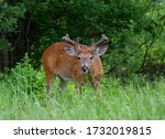 White Tailed Buck Walking In A...