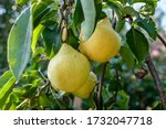 A Group Of Yellow Pears On A...