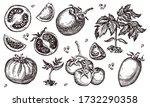 tomato. hand drawn set. vector... | Shutterstock .eps vector #1732290358