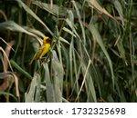 Small photo of yellow weaver bird nesting in natural Babbitt