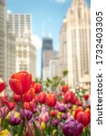 Small photo of Close up of red, pink, purple and yellow tulips in a planting bed in the median in Michigan Avenue with highrise buildings out of focus in the background.
