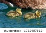 Two Baby Canada Geese Swimming...